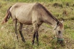 马,与搜寻动物的肥沃kawatuna谷 免版税库存图片