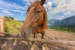 马,哺养在草在高地喀尔巴阡山脉的牧场地 免版税库存图片