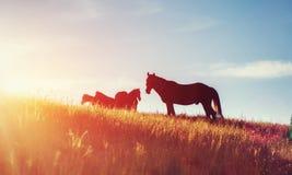 马,在高地牧场地喀尔巴阡山脉的草日落光芒的  免版税图库摄影