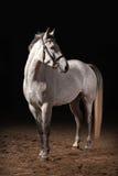 马 在黑暗的背景的Trakehner灰色颜色与沙子 免版税库存图片