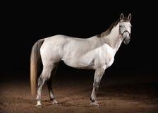 马 在黑暗的背景的Trakehner灰色颜色与沙子 免版税库存照片