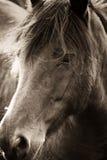 马头画象  免版税库存图片