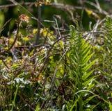 绵马;鳞毛蕨属filix mas 库存图片
