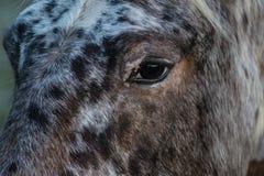 马` s眼睛凝视 库存图片