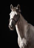 马 Trakehner灰色颜色画象在黑暗的背景的 库存照片