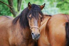 马hucul 免版税图库摄影