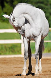 马orlov纵向小跑步马白色 库存图片