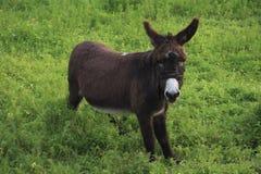 驮货驴子牧场地 免版税库存照片