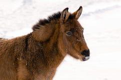 驮货驴子通配冬天 库存图片