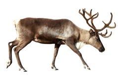 驯鹿。 查出在白色 免版税库存图片