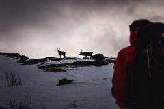 驯鹿不可思议的冬天山凝视下来 免版税库存图片