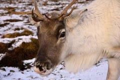 驯鹿公牛在苏格兰 库存图片
