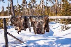 驯鹿兽皮干燥 免版税库存图片