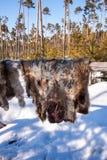 驯鹿兽皮干燥 库存照片