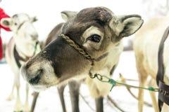 驯鹿北部鹿眼睛 免版税库存图片