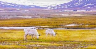 驯鹿吃草在斯瓦尔巴特群岛平原  免版税库存图片