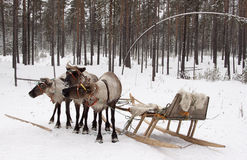 驯鹿和雪撬。 库存照片
