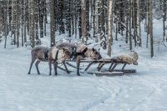 驯鹿和雪橇 免版税库存图片