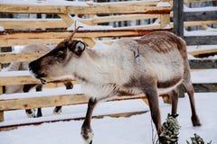 驯鹿在一个冬天森林农场在拉普兰 芬兰 库存照片