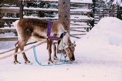 驯鹿在一个冬天森林里在拉普兰 芬兰 免版税库存图片