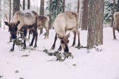 驯鹿在一个冬天森林里在拉普兰 芬兰 免版税图库摄影