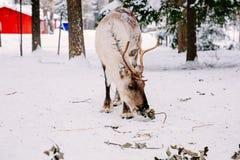 驯鹿在一个冬天森林里在拉普兰 芬兰 库存图片