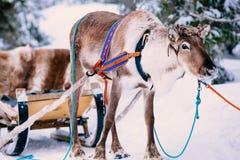 驯鹿在一个冬天森林里在拉普兰 芬兰 库存照片