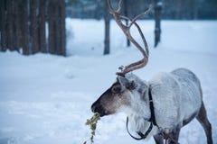 驯鹿在一个多雪的风景的背景中 库存图片