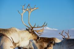 驯鹿在与深蓝天的自然环境里在背景在特罗姆瑟地区,北挪威 免版税库存图片