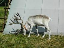 驯鹿在俄国动物园里 库存照片
