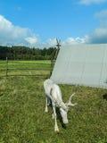 驯鹿在俄国动物园里 免版税图库摄影