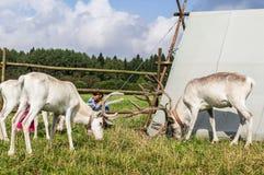 驯鹿在俄国动物园里 库存图片