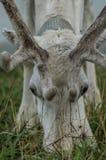 驯鹿在俄国动物园里 免版税库存照片
