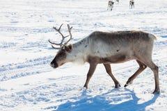 驯鹿在冬天寒带草原 免版税库存图片