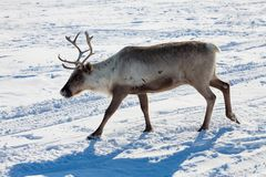 驯鹿在冬天寒带草原 库存照片