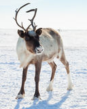 驯鹿在冬天寒带草原 图库摄影