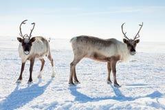 驯鹿在冬天寒带草原 库存图片
