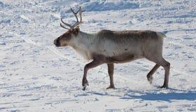 驯鹿在冬天寒带草原 免版税库存照片