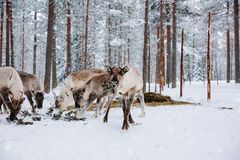 驯鹿在冬天森林在拉普兰种田 芬兰 库存照片