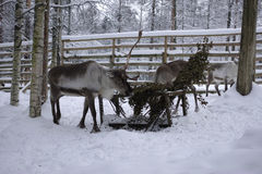 驯鹿在动物庭院里 图库摄影