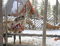 驯鹿在圣诞老人村庄,拉普兰 免版税图库摄影