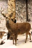驯鹿在多雪的森林里 库存照片