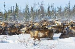 驯鹿在寒带草原移居 免版税库存照片