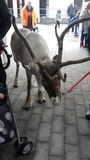 驯鹿在市场上 免版税库存图片