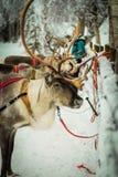 驯鹿在拉普兰,芬兰 免版税库存照片