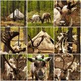 驯鹿在森林里在蒙古 免版税库存图片