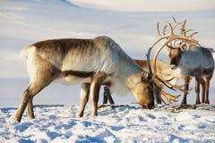 驯鹿在深雪在自然环境里吃草在特罗姆瑟地区,北挪威 免版税库存图片