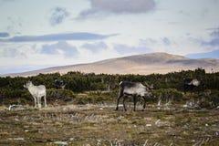驯鹿在瑞典 图库摄影