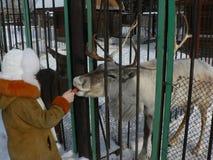 驯鹿在笼子的一个动物园里 免版税库存照片