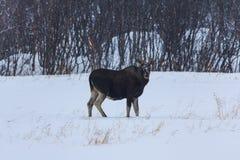 驯鹿在自然环境里在冬天在挪威 免版税库存图片